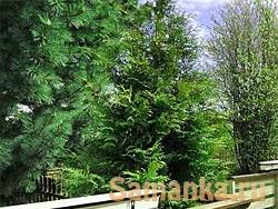 Ель – род деревьев, относящийся к вечнозеленым растениям хвойных пород