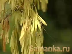 Ясень - род листопадных деревьев, т.е. сбрасывающих листву на период покоя, принадлежащих семейству маслиновых