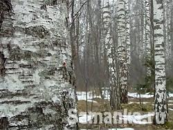 Береза – род листопадных кустарников, но больше деревьев, образующих семейство березовых